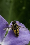 Helophilus Pendulus (Hoverfly  Sun Fly) - Cleaning Itself