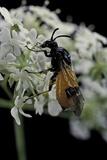 Arge Cyanocrocea (Bramble Sawfly)