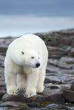 Polar Bear on Harbour Islands  Hudson Bay  Nunavut  Canada