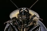 Blaberus Giganteus (Giant Cockroach)