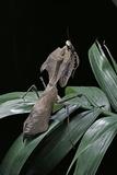 Deroplatys Desiccata (Giant Dead Leaf Mantis)