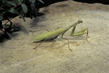 Mantis Religiosa (Praying Mantis) - on Stone