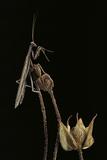 Ameles Decolor (Praying Mantis)