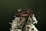 Graphosoma Lineatum (Striped Shield Bug )