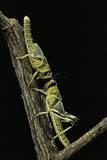 Schistocerca Gregaria (Desert Locust) - Larvae in Gregarious Form