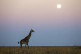 Giraffe and Moonrise  Chobe National Park  Botswana