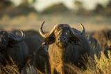 Cape Buffalo  Moremi Game Reserve  Botswana