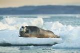 Bearded Seal  Nunavut Territory  Canadabearded Seal on Sea Ice in Hudson Bay  Nunavut  Canada