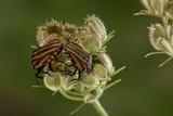 Graphosoma Lineatum (Striped Shield Bug ) - Mating
