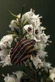 Graphosoma Lineatum (Striped Shield Bug )