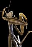 Mantis Religiosa (Praying Mantis) -