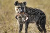 Hyena  Moremi Game Reserve  Botswana