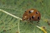 Epilachna Chrysomelina (Melon Ladybeetle)