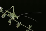 Tylopsis Lilifolia (Lily Bush-Cricket)