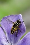 Helophilus Pendulus (Hoverfly  Sun Fly)