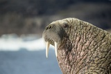 Walrus Resting on Ice in Hudson Bay, Nunavut, Canada Papier Photo par Paul Souders