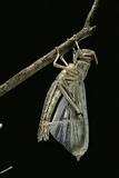 Schistocerca Gregaria (Desert Locust) - Emerging
