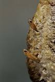Mantis Religiosa (Praying Mantis) - Hatching