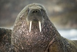 Walrus on Ice in Hudson Bay  Nunavut  Canada