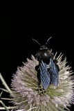 Xylocopa Violacea (Violet Carpenter Bee)