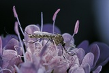 Culex Pipiens (Common House Mosquito) - on a Flower