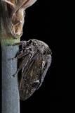Centrotus Cornutus (Horned Treehopper)