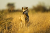 Wild Dog at Dawn  Moremi Game Reserve  Botswana