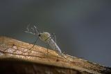 Culex Pipiens (Common House Mosquito)
