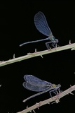 Calopteryx Virgo (Beautiful Demoiselle) - Male and Female