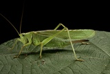 Tettigonia Viridissima (Great Green Bush-Cricket) - Female
