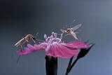 Culex Pipiens (Common House Mosquito) - Male with Female