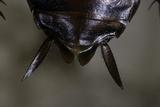 Periplaneta Americana (American Cockroach  Waterbug  Palmetto Bug) - Cerci
