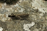 Aiolopus Strepens (Grasshopper) - on Stone