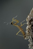 Mantis Religiosa (Praying Mantis) - Larva Newly Emerged from Ootheca