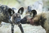 Wild Dogs at Dawn  Moremi Game Reserve  Botswana