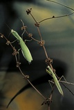 Mantis Religiosa (Praying Mantis) - Male with Female