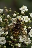 Milesia Crabroniformis (Hoverfly)