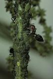 Crematogaster Scutellaris - Ants with Aphids