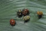 Augocoris Gomesii (Amazonia Bug)