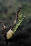Mantis Religiosa (Praying Mantis) - Laying