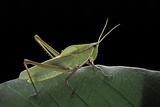 Prionolopha Serrata (Serrate Lubber Grasshopper)