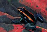 Phyllobates Vittatus (Golfodulcean Poison Frog)