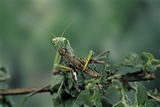 Mantis Religiosa (Praying Mantis) - Feeding on a Grasshopper