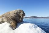 Walrus on Ice  Hudson Bay  Nunavut  Canada