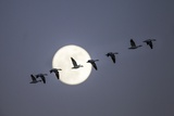 Snow Geese and Full Moon  New Mexico