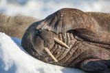 Walrus on Sea Ice  Hudson Bay  Nunavut  Canada