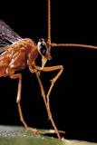 Ophion Luteus (Ichneumon Wasp  Yellow Ophion) - Portrait
