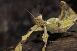 Extatosoma Tiaratum (Giant Prickly Stick Insect)
