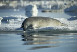 Bearded Seal Dives from Sea Ice in Hudson Bay  Nunavut  Canada