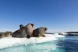 Walrus Herd on Ice  Hudson Bay  Nunavut  Canada